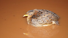 Adult female Red-backed Button quail (ntwildlife) Tags: adult female redbacked button quail darwin northern territory australia