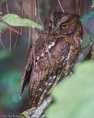 SCOPS-OWL, Malagasy (teddcenter) Tags: bird madagascar malagasyscopsowl otusrutilus owl strigidae