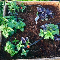 Basil Planter (Assaf Shtilman) Tags: basil cross breed plant purple thai cinnamon green sweet herbs