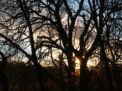 Winter light, The Hermitage, Dunkeld (Niall Corbet) Tags: scotland perthshire dunkeld hermitage nationaltrust nts winter tree sun sunset silhouette