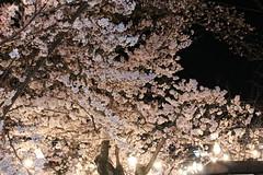 IMG_6412 Maruyama Koen (drayy) Tags: kyoto japan gion temple kiyomizudera maruyamakoen park sakura cherryblossoms 日本 京都 清水寺 円山公園 花見 桜