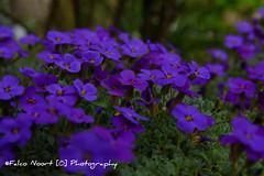 Flowers (falconoortphoto) Tags: nikon nikond5200 falconoort sigma sigmalenses foto photo flowers bloemen blauw paars almere lente spring