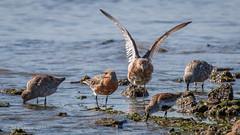 Red Knots and a Dunlin (Bob Gunderson) Tags: birds calidristenuirostris california coyotepointregionalpark northerncalifornia peninsula redknot sanmateocounty sandpipers shorebirds