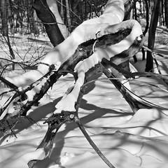 Animal (bob august) Tags: 2017 2017©rpd'aoust ahuntsic aperture3 arbres bw blackwhite d90 février formatcarré hiver landscape montréal neige nikkor18300mm nikon nikond90 noiretblanc parcduboisédesaintsulpice paysage slowphotography snow squareformat trees winter