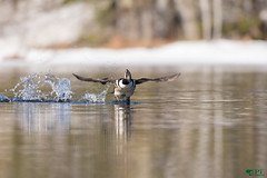 ''Décollage!'' harle couronné-Lophodytes cucullatus (pascaleforest) Tags: oiseau bird animal duck canard migration wild wildlife faune nature nikon passion québec canada maraisdunord eau water flying décollage river rivière