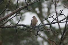 Mourning Dove Sitting On Ash Tree Branch 003 (Chrisser) Tags: birds bird doves dove mourningdoves mourningdove zenaidamacroura nature ontario canada canoneosrebelt6i canonef75300mmf456iiiusmlens columbidae
