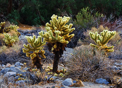 Cholla Cactus in Anza-Borrego Desert State Park, California (Gail K E) Tags: anzaborrego desert sandiego california socal cholla cactus usa cactusloopnaturetrail
