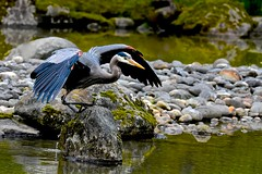 Great Blue Heron (Aurora Santiago Photography) Tags: greatblueheron seattlejapanesegarden pond rocks seattle