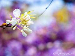 白藤 (紅襪熊) Tags: olympus omd em1 m43 micro43 microfourthirds olympusem1 sigma 150mm macro bokeh sigma150mmmacro apo f28 sigmaapomacro150mmf28 sigmamacro150mmf28 150mmf28 sigma150mmf28 wistaria spring 春 花 藤 藤花 紫藤 春天 夢幻 紫 purple flower