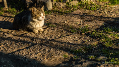 Warming at sunset (Milen Mladenov) Tags: 2017 d3200 nikon cat domestic flowers kitty look looking spring sunset