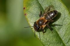 Miner bee female #1 (Lord V) Tags: macro bug insect bee minerbee andrena