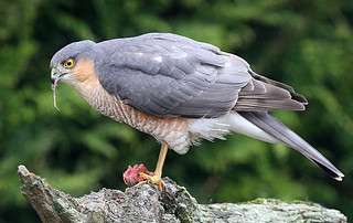 MALE SPARROWHAWK ....Mid Wales.