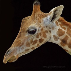 In honor of April giving birth! (AngelVibePhotography) Tags: animals outdoors animal blackbackground giraffe wildlife nature photography closeup macro