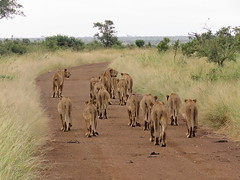 15 Lions (Bruwer Burger.) Tags: 15 lions naturethroughthelens coth5 ngc