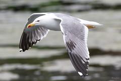 Lesser black backed gull (Shane Jones) Tags: lesserblackbackedgull gull bird seabird birdinflight wildlife nature nikon d500 200400vr tc14eii