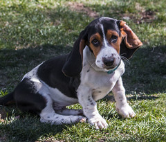 IMG_8191 (BFDfoster_dad) Tags: basset hound puppy