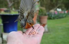 Robin dropping in for dinner (Mukumbura) Tags: robin bird hand landing flight food trust