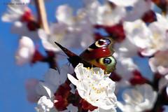 Nappali pávaszem (Aglais io) (A. Meli) Tags: europeanpeacock aglaisio nappalipávaszem tagpfauenauge insekten insecta lepke butterfly rovar schmetterling