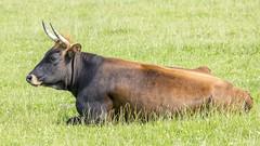 Oostvaardersplassen (Hans van der Boom) Tags: nederland netherlands ijsselmeerpolders flevopolder oostvaarderplassen animal heck cattle heckrund horns grazing lelystad nl