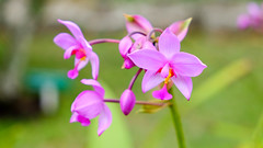 DSCF4388.jpg (ser_is_snarkish) Tags: cuba orchids