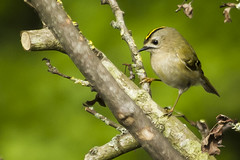 GOLDCREST (_jypictures) Tags: goldcrest birdphotography bird birds birdwatching birding birdingphotography birders wildlifephotography wildlife wiltshire naturephotography nature animalphotography animals animal canon7d canon canonphotography