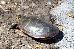 Reptilian Friends (patchais) Tags: vischers ferry saratoga county reptiles eastern painted turtle