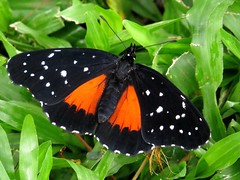 What's black and white and red-orange all over? Crimson patch (Chlosyne janais) butterfly, San José, Costa Rica, Nov 2016 (Judith B. Gandy) Tags: chlosyne butterflies insects invertebrates lepidoptera chlosynejanais costarica crimsonpatchbutterflies sanjosé