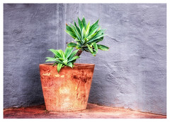 Pot Plant In A Corner (Daniela 59) Tags: pot plant potplant corner flickrfriday wall textures texturaltuesday 100x2017 100xthe2017edition image39100 theworldaroundme danielaruppel