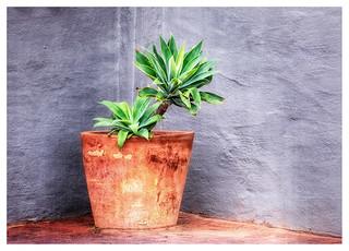 Pot Plant In A Corner