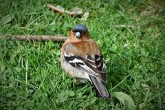 Fringuello (Jessica Peruzzo) Tags: birdwatching fringuello