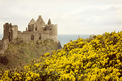 Castle ruins and yellow wildflowers along the Irish coast (Cat Girl 007) Tags: ireland castle ruins dunlucecastle skeleton rocky irish historic stone europe antrim building fortress architecture historical medieval kingdom ancient stonework northernireland bluff blooming furzeorwhin gorse hedge landscape nature outdoors plants scenery scenic shrub shrubbery wildflower yellow structure abandoned landmark view gothic exterior outdoor tourism empty mystery facade daytime