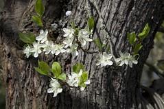 Blüten vom Pflaumenbaum (fotio14) Tags: pflaumenbaum garten blüten frühling baum natur tree plumtree