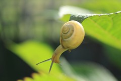 JPGE_1079_1 (Pablo Alvarez Corredera) Tags: molusco caracol amarillo negro rayado hoja baboso babosito langreo barros asturias antenas concha coraza transparente desenfoque naturaleza primavera hojas