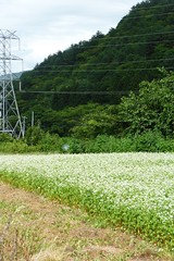 Field of soba (Stop carbon pollution) Tags: japan 日本 honshuu 本州 touhoku 東北 fukushimaken 福島県 cycletouring 自転車ツーリング