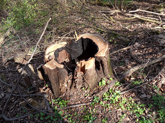 Abgebrannt (onnola) Tags: koblenz rheinlandpfalz deutschland rhinelandpalatinate germany wald forest baum tree schaden baumstumpf stamm stump trunk verbrannt burnt