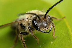 Male miner bee portrait #1 (Lord V) Tags: macro bug insect bee minerbee
