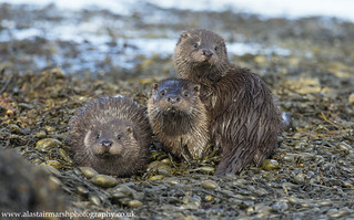 Mother Otter & Cubs