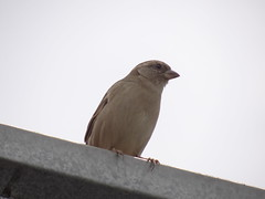 DSC00630 Pardal (familiapratta) Tags: sony dschx100v hx100v iso100 natureza pássaro pássaros aves nature bird birds novaodessa novaodessasp brasil
