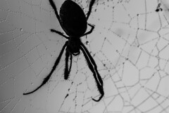..authorities say ok to sleep on your back..but (dawn.tranter) Tags: spider hairy tongue mouth open authorities back sleep bokeh web spiderweb thursday 7dwf