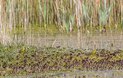 9Q6A5407 (2) (Alinbidford) Tags: alinbidford alancurtis brandonmarsh greyheron greylaggoose snipe moorhen yellowwagtail