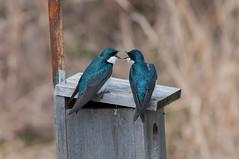 No, YOU are... (martytdx) Tags: birds swallow treeswallow tachycinetabicolor tachycineta hirundinidae nesting male female nj palmyra palmyracove palmyracovenaturepark birding migrationspring2017