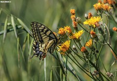Tale of the swallowtail (Mauro Hilário) Tags: nature wildlife butterfly bug insect invertebrate spring portugal beautiful papilio machaon swallowtail flowers yellow