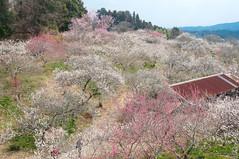 Japanese ume blossom (Yam@chan) Tags: japan nara tsukigase ume plum grove nikon 18105mm f3556