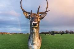 Hello deer (Lorrainemorris66) Tags: a6000 trees popescross greengrass fur kitlens sony meadow mood nature stag closeup wildlife dublin summer skys rainbow raindeer ireland park deer