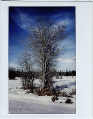Willows (R. Drozda) Tags: fairbanks alaska spring trail willow tree bottomland borealforest muskeg forestclearing salix wintertrail snow sky cloud fujiinstaxtall instaxfilm instantfilm roidweek2017 drozda