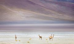 Guanaco. (J.M.Fransen (jero 053) on/off) Tags: altiplano jero053 jeroenfransen desert animal deer bolivia landscape nature tele 70200 canon guanaco altitude plains uyuni potosi tupiza