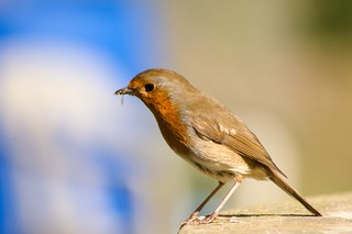 Robin collecting insects