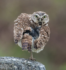 Burrowing Owl-6096 (Geoffrey Shuen Photography) Tags: burrowingowl owl