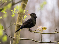 Common Blackbird (Howie Mudge LRPS BPE1*) Tags: animal bird raptor blackbird yellowbeak wildlife nature outside outdoors bokeh bokehful bokehlicious telephoto tree branch leaves panasonicdmcg80 microfourthirds m43 mft compactsystemcamera mirrorlesscamera lumixgvario100300f4056ii