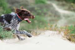 2017-04-12 à 15-44-31.jpg (martinmichiels) Tags: dog sand drathaar canon 5d mkii mark2 mk2 ef85mmf18 belgium northsea oostduinkerke